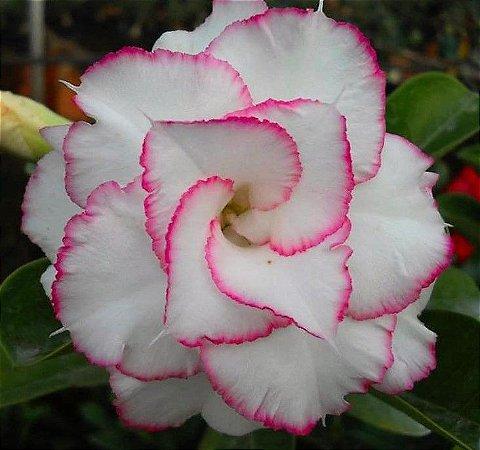 Rosa do Deserto Branca c/ Extremos de Bordas Pink Flor Tripla Enxertado
