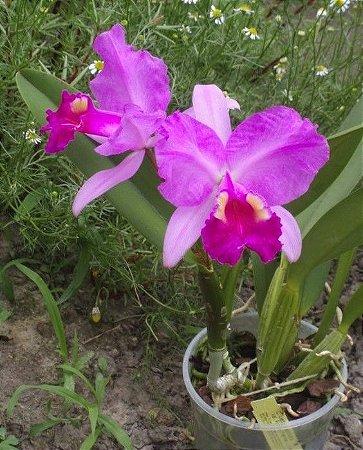 Orquídea Cattleya Lueddemanniana Var. Rubra Fennel '9 - Adulta - Espécie