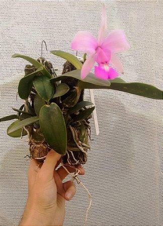 Orquídea Cattleya Walkeriana Var. Concolor - Adulta