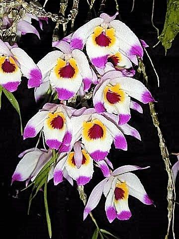 Orquídea Dendrobium falconeri - Raro