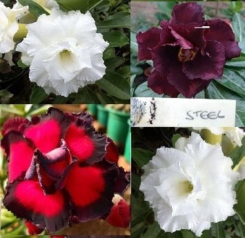 Rosa do Deserto Enxerto TRIPLO - Flores STELL (Negra), BRANCA  (TS274) e TRIPLE FLAMINGO (TF) Todas DOBRADAS e na mesma ROSEIRA.