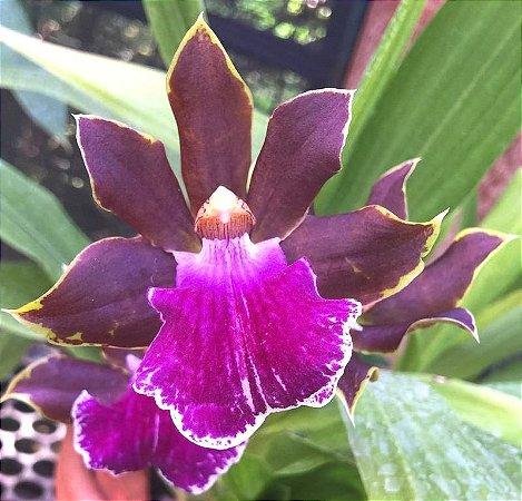 Orquídea Zygopetalum Redvale - Adulta