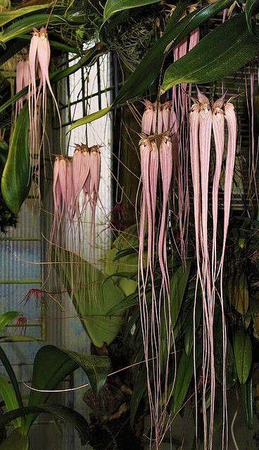 Orquídea Bulbophyllum longissimum - Adulto