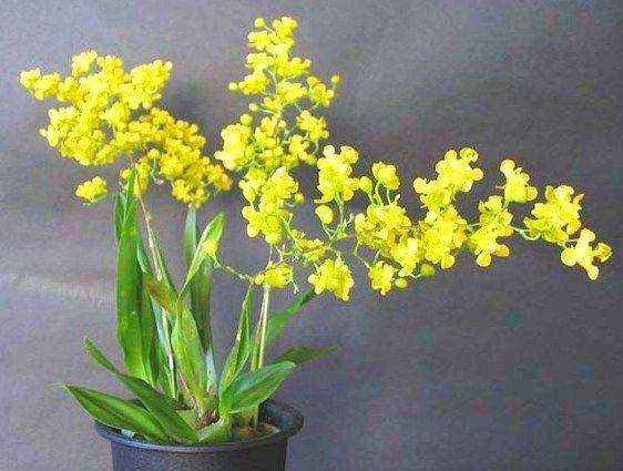 Orquídea Oncidium cheirophorum - Adulta