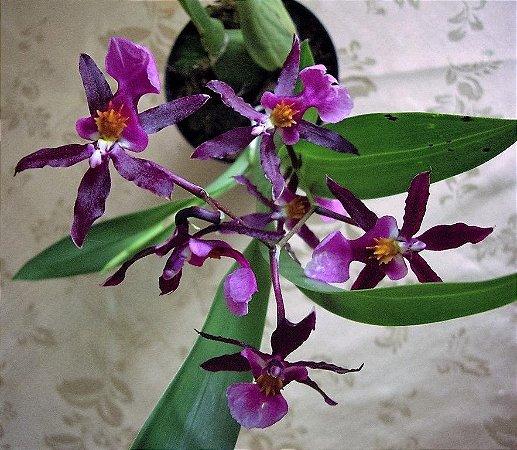 Orquídea Miltonidium Saravá-san - Adulta