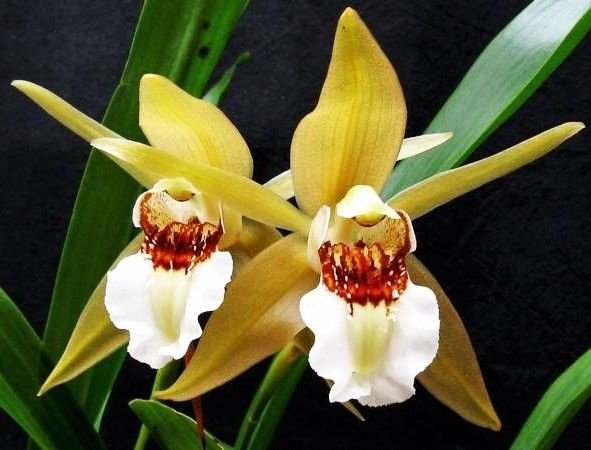 Orquídea Coelogyne lawrenceana - Adulta