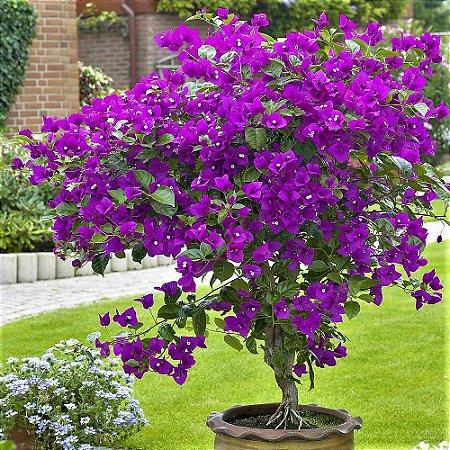Primavera de Flores Roxas