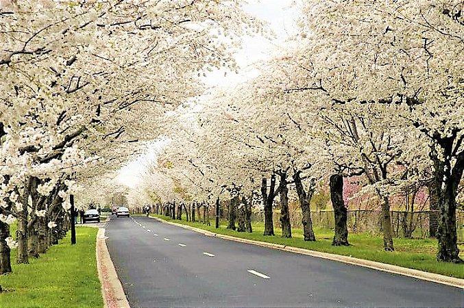 Cereja ou Cerejeira Japonesa Ornamental de Flores Brancas e Dobradas