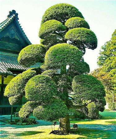 Podocarpus ou Pinheiro-de-Buda - Ótima Cerca Viva