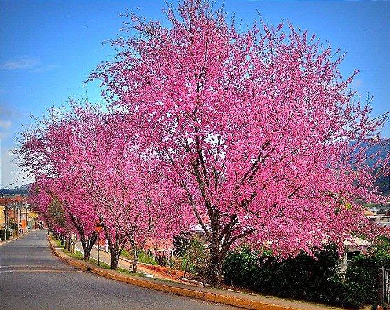 Pau-de-Rosas - Belíssima Floração
