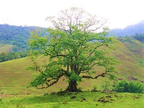 Pau-D'alho ou Árvore Guararema ou Árvore-de-Alho