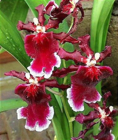 Orquídea Havaiana Too Sweet