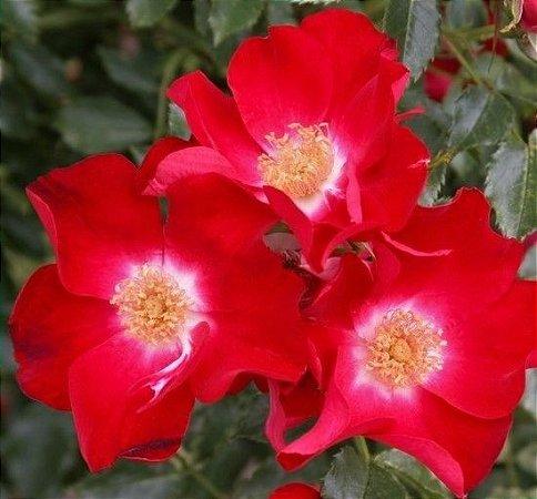 Rosa trepadeira DORTMUND - Pétalas Singelas - A Flor Muda de Cor e Fecha a Noite
