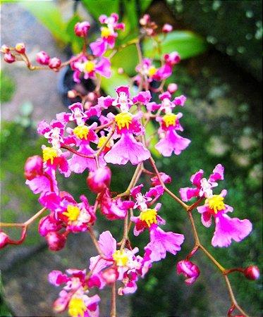Orquídea Oncidium Kaiulani - Adulta