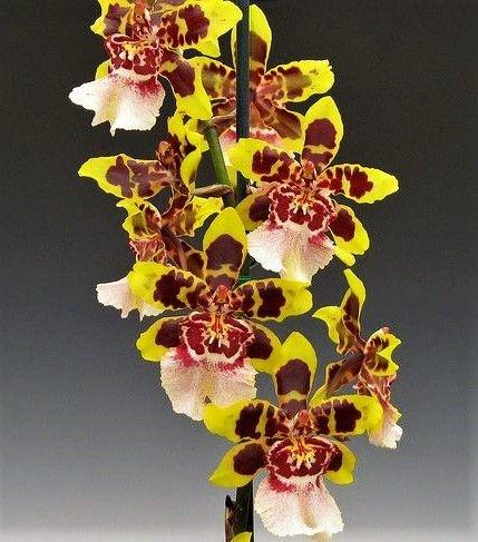 Orquídea Colmanara Wildcat - Adulta