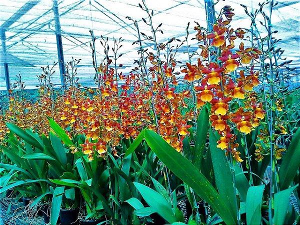Orquídea Catatante - Hastes Florais Enormes - Touceira Adulta
