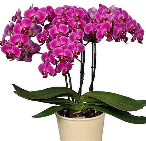 Orquídea Phalaenopsis N137PRP