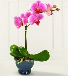 Orquídea Phalaenopsis NP103BL