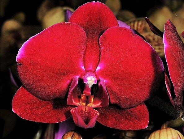 Orquídea Phalaenopsis Vermelho Intenso N136VM