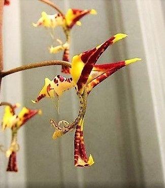 Orquídea Dragão - Muito Rara