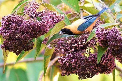 Calicarpa Chinesa - Atrativa de Pássaros