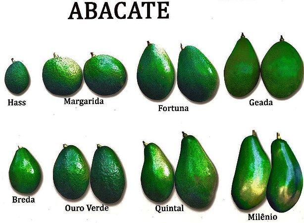 Abacate Gigante Bertanha/Milênio - Muda Enxertada