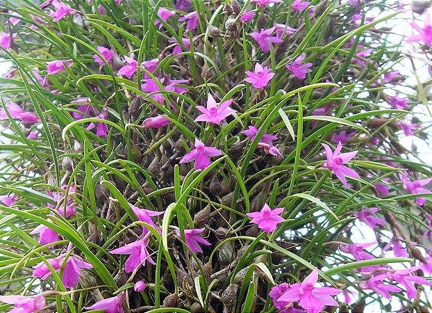 Orquídea Isabelia pulchella - Adulta