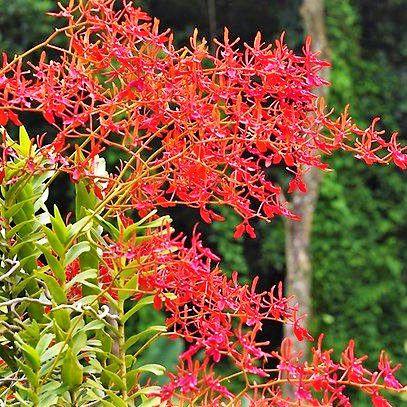 Orquídea Renanthera coccinea