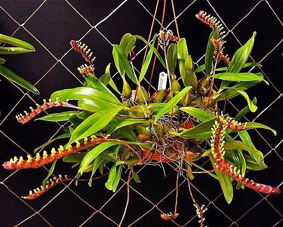 Orquídea Bulbopyllum falcatum