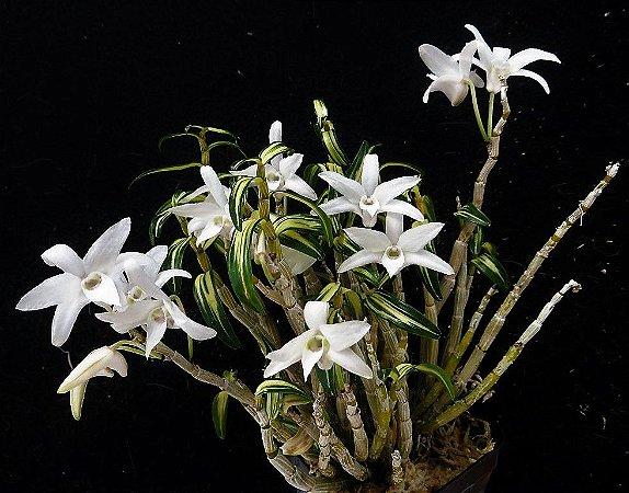 Orquídea Moniliforme Variegata