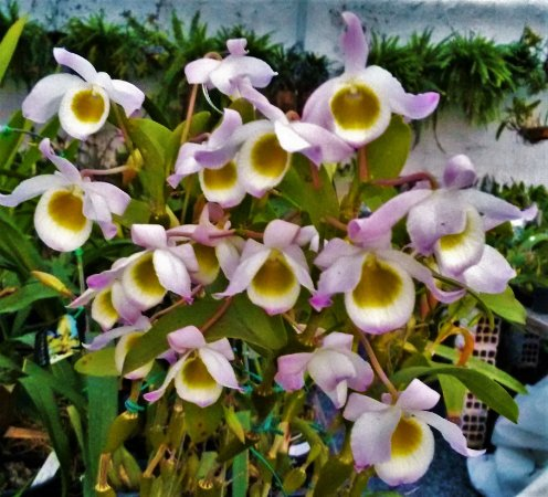 Orquídea Dendrobium Findlayanum
