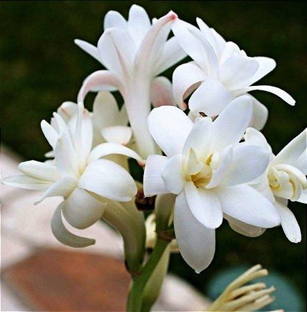 Angélica flor - c/ 6 Bulbos