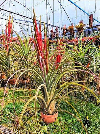 Tilladsia Draconic - Air Plants