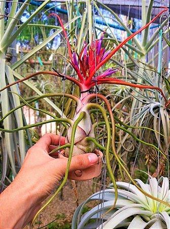 Tillandsia Bulbosa Gigante - Air Plants