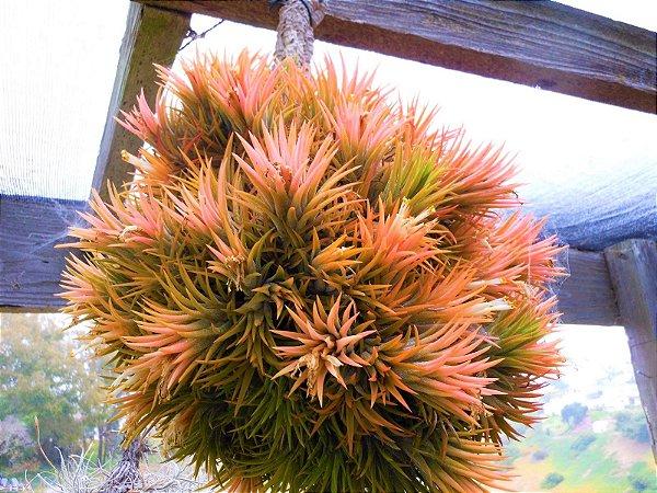 Tillandsia Ionantha Peach - Air Plants