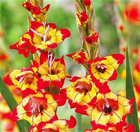 Gladíolo Farah - Mesclado Amarelo com Centro e Bordas Vermelho- c/ 5 Bulbos