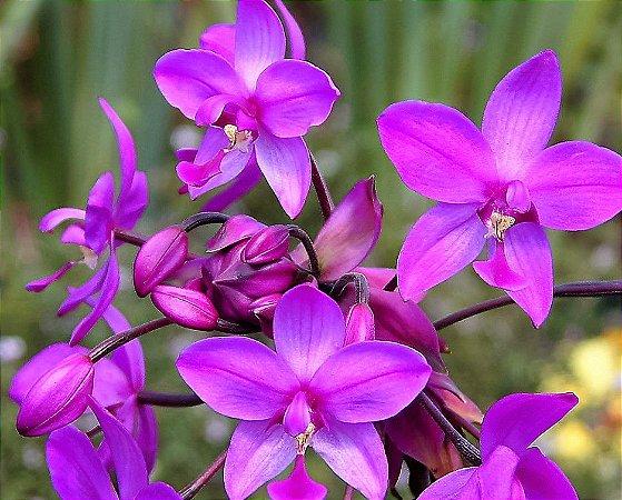 Orquídea Spathoglottis Plicata