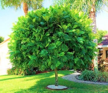 Árvore Samambaia - Filicium Decipiens