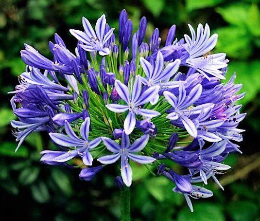 Agapanthus Azul
