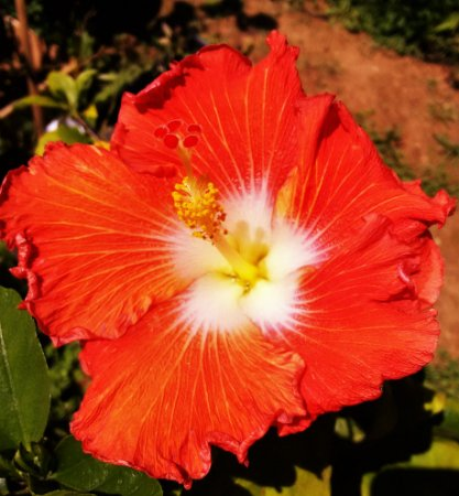 Hibisco Gigante Havaiano Vermelho centro Branco - Enxertado