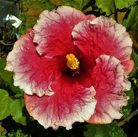 Hibisco Gigante Havaiano Pink Borda Branca e Centro Escuro - Enxertado