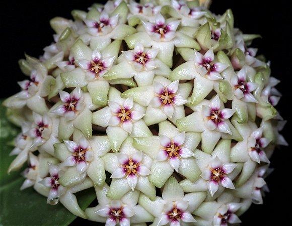 Hoya Verticillata - Flor de Cera