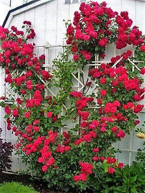 Rosa Trepadeira cor Vermelho VELUDO Flores GRANDES