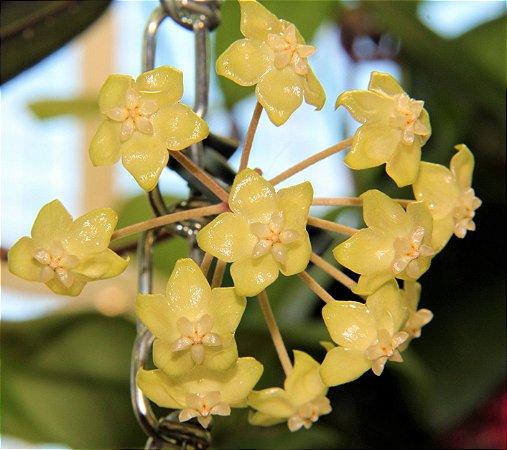 Hoya forbesii - Flor de cera