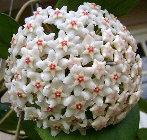 Hoya fungii - Flor de cera