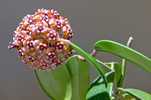 Hoya meliflua var. fraterna - Flor de cera