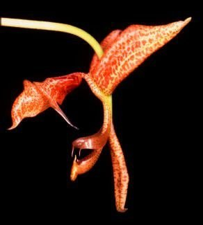 Orquídea Dragão Laranja - Adulta