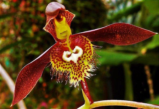 Orquídea Catasetum saccatum