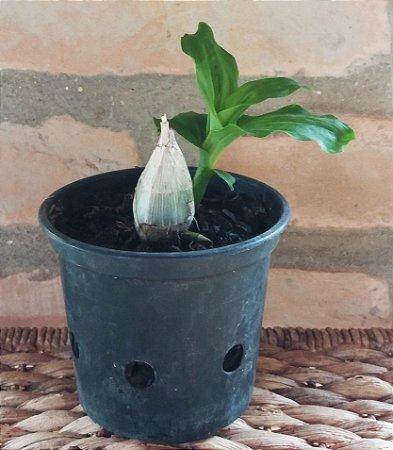 Orquídea Catasetum atratum