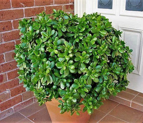Planta Jade ou Árvore da Felicidade - Suculenta